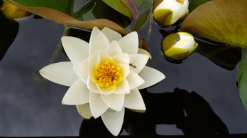 White Water Lily -Denver(Nymphaea Denver)